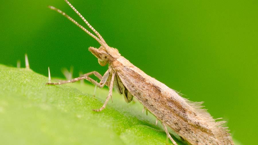 Diamondback moth adult