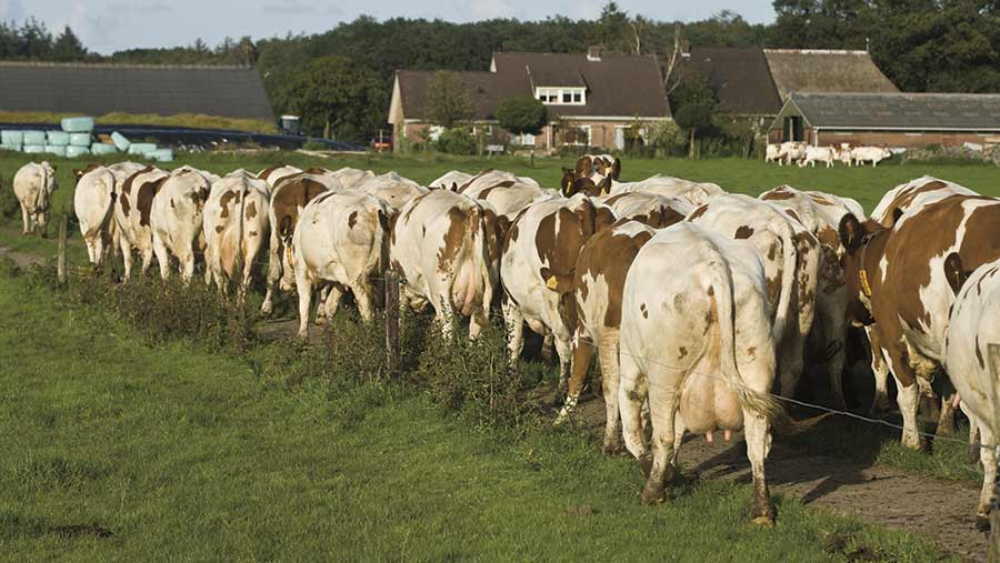 dutch-dairy-herd-mark-pasveer-and-koos-groenwold