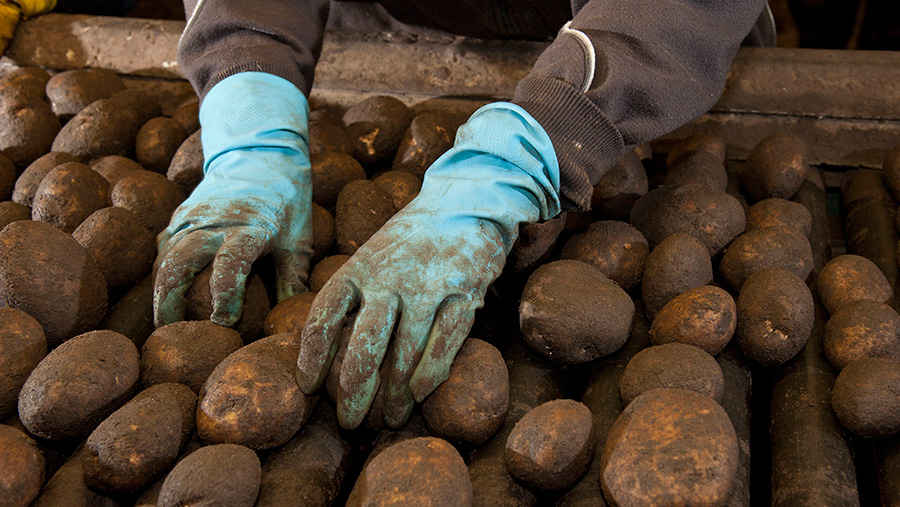Farmworkers grading potatoes