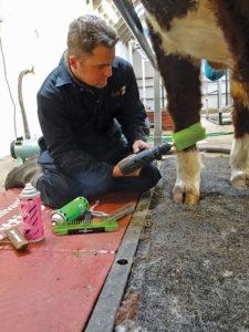 A man grooms a cow's legs