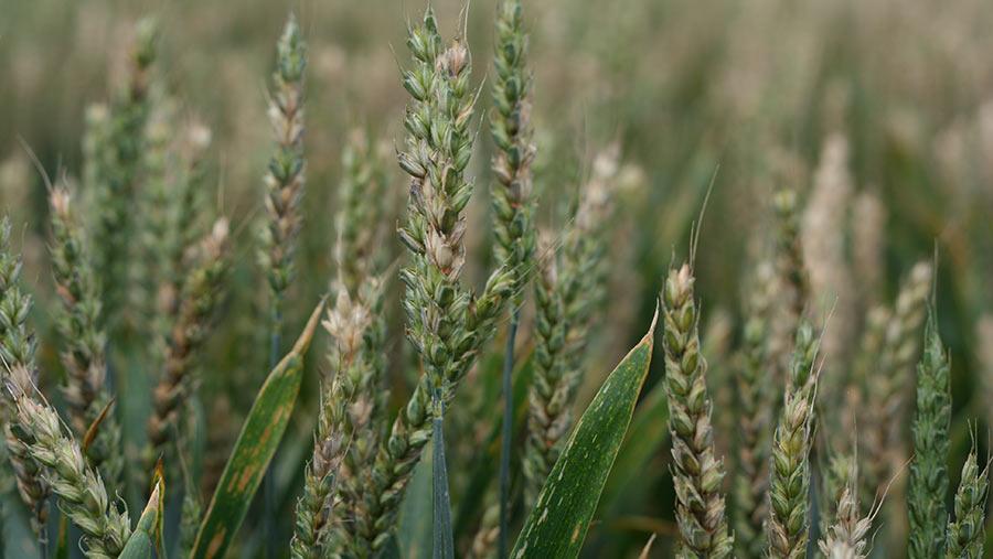 Fusarium disease in wheat