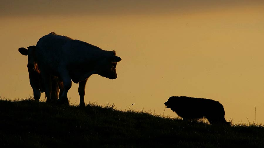 Silhouette of cow and dog
