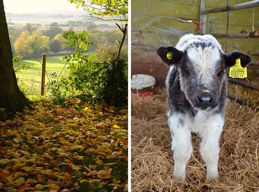 Farming landscape and calf