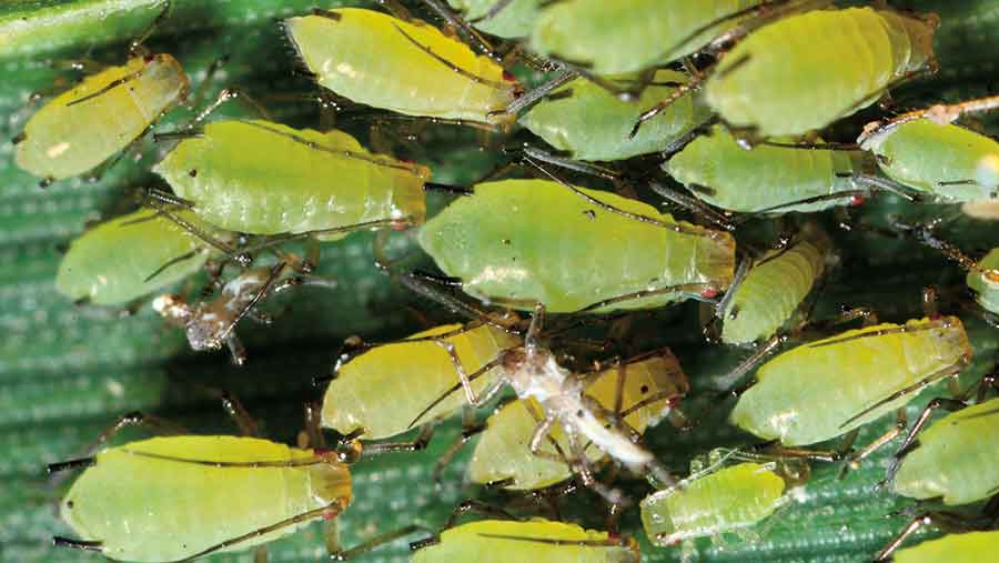 Grain aphid colony