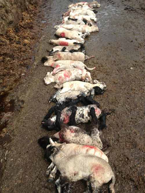 Mutilated lambs