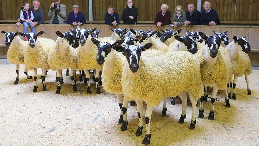 A pen of sheep at a sheep sale