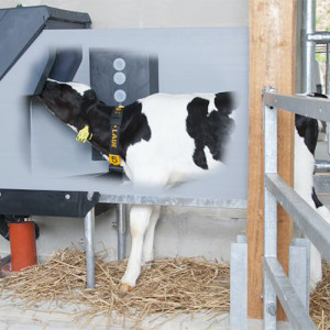 Holstein calf drinking, Holm and Laue