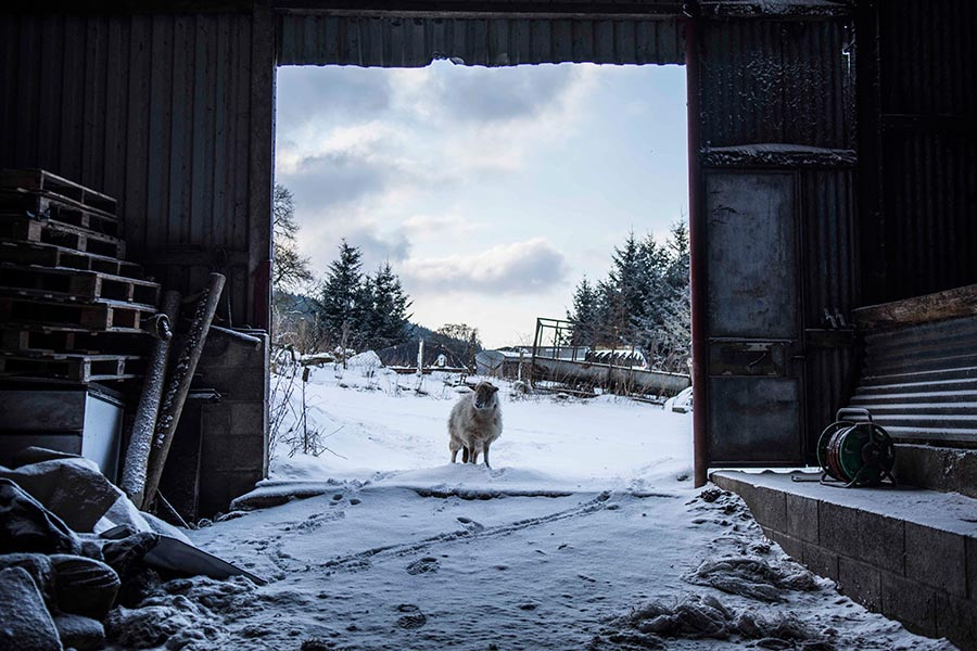 Sheep standing in snow in shed entrance