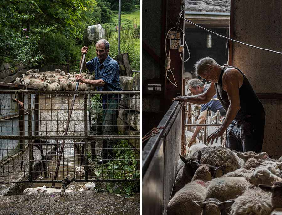 Composite of two pictures - left is a farmer dipping sheep, and right farmers with sheep in a shed