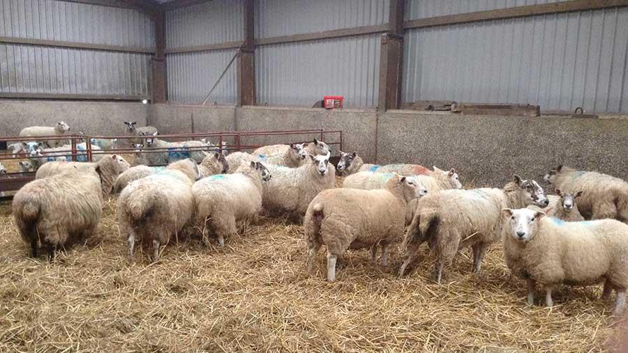sheep/lamb