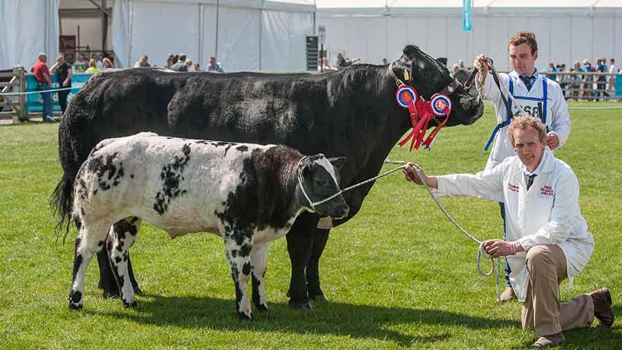 Springhill Golden Girl with bull calf