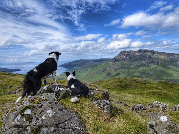 Collie dogs looking at view