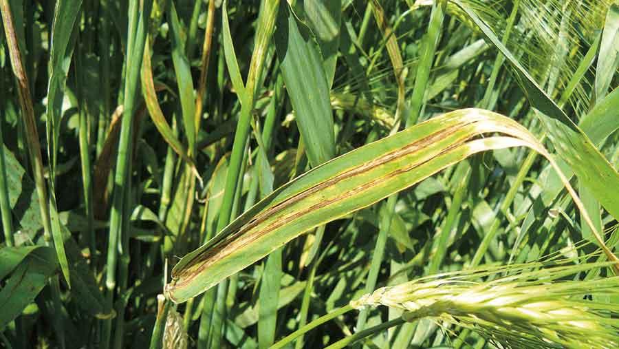 Leaf stripe on barley