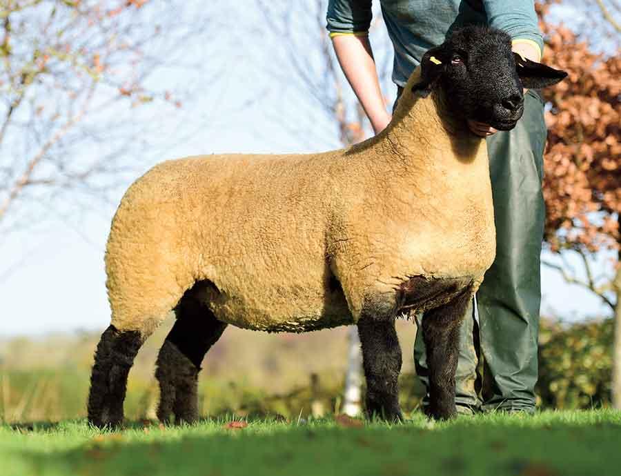limestone ewe lamb