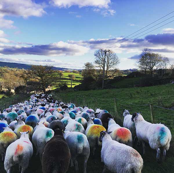 Sheep with colourful markings walking down a road
