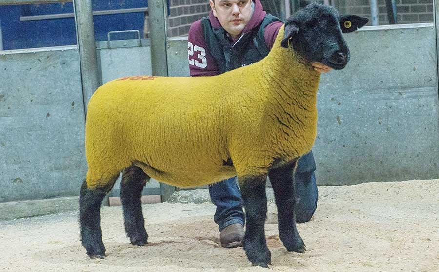 Suffolk ewe lamb