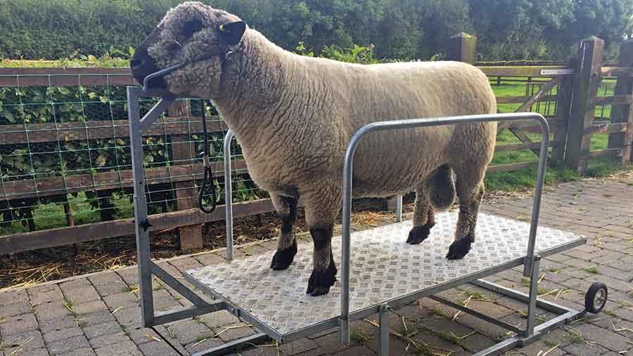 louise-van-geffen-show-sheep-trimmer