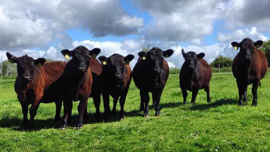 lowline heifers