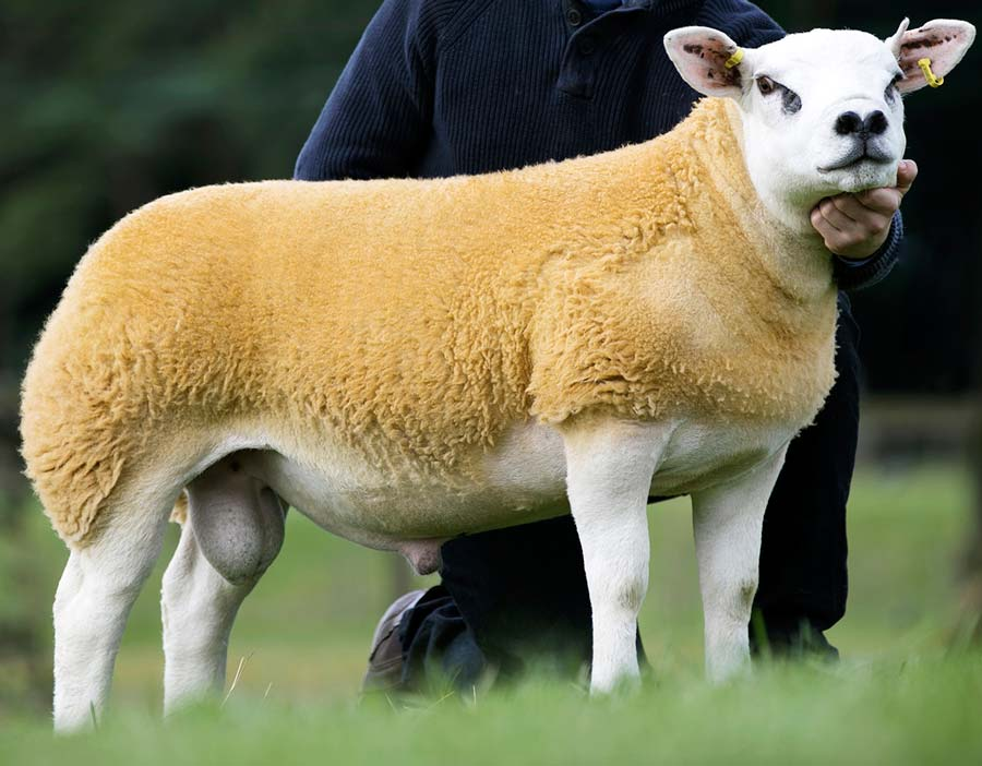 A texel sheep
