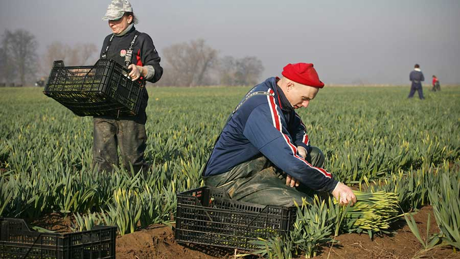 Migrant workers picking daffodils