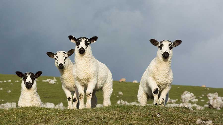 Mule lambs in a field