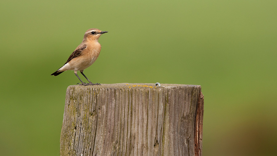 Northern Wheatear on farm fence post
