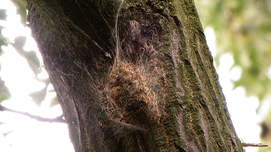 Oak processionary moth nest on a tree