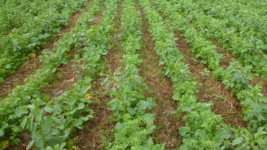 OSR companion crop