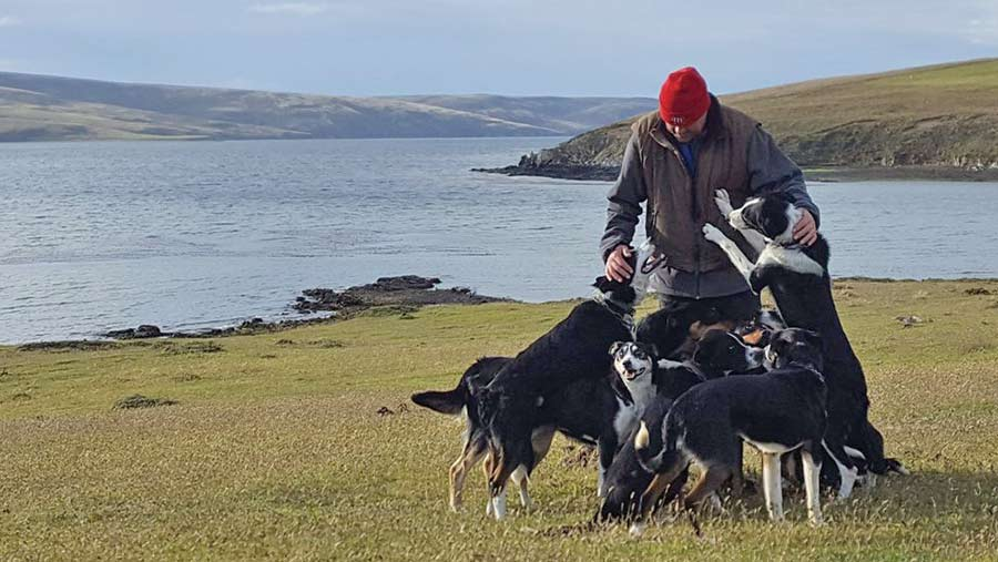 Hew Grierson with sheepdogs, San Carlos Falklands