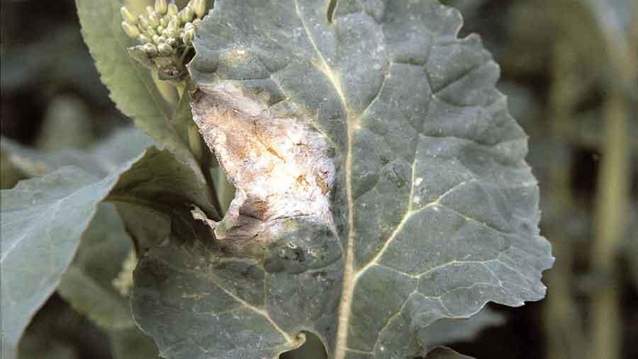 light leaf spot