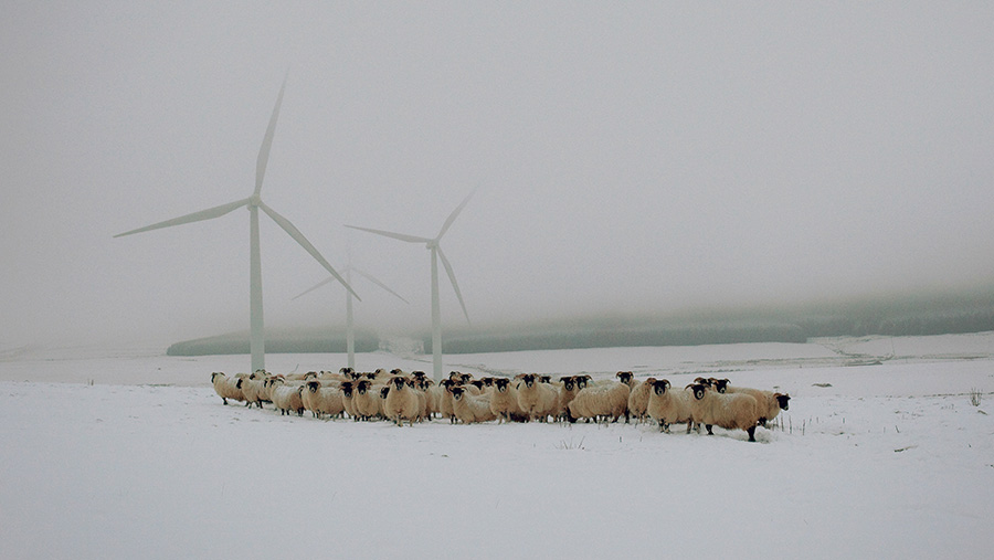 Patricia Glennies' Blackface ewes and wind turbines at Lauder in The Scottish Borders