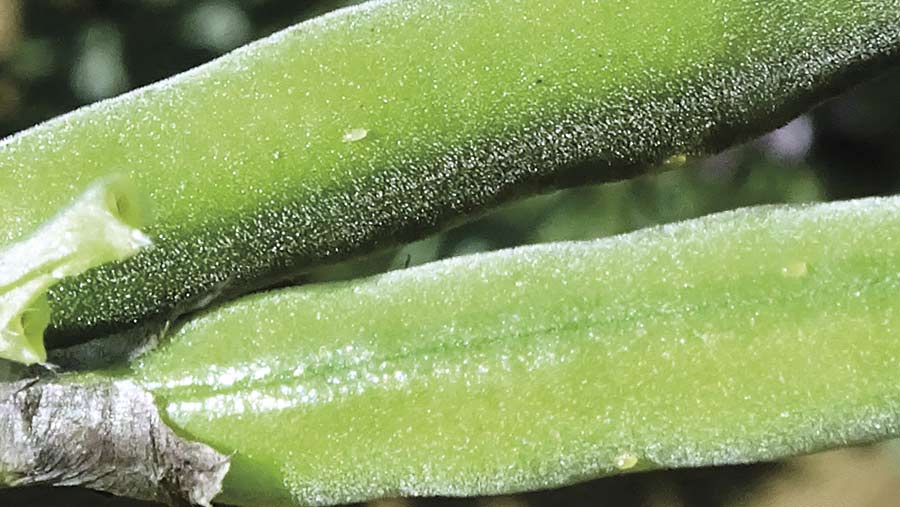 Bruchid eggs on pods