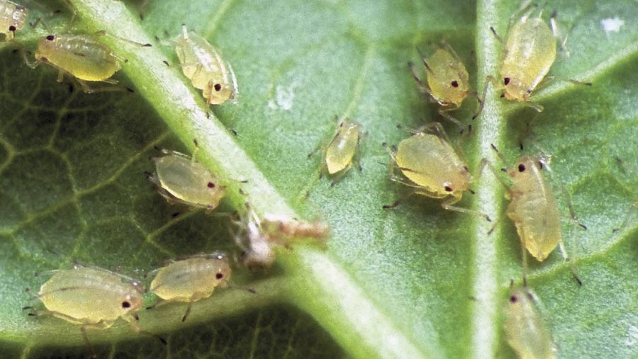 Peach potato aphid