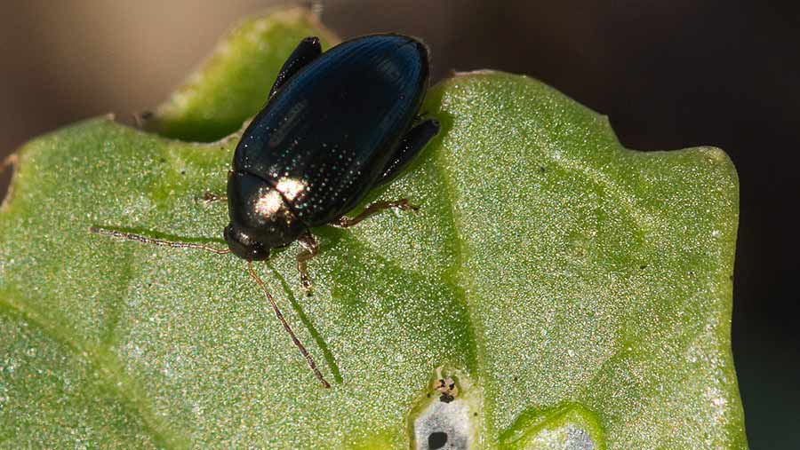 Cabbage stem flea beetle on OSR leaf