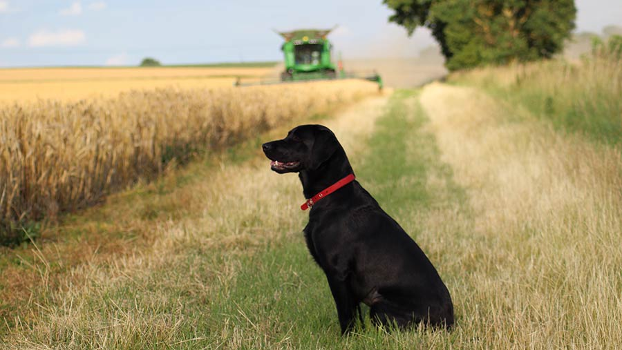 Dog watching combine harvester