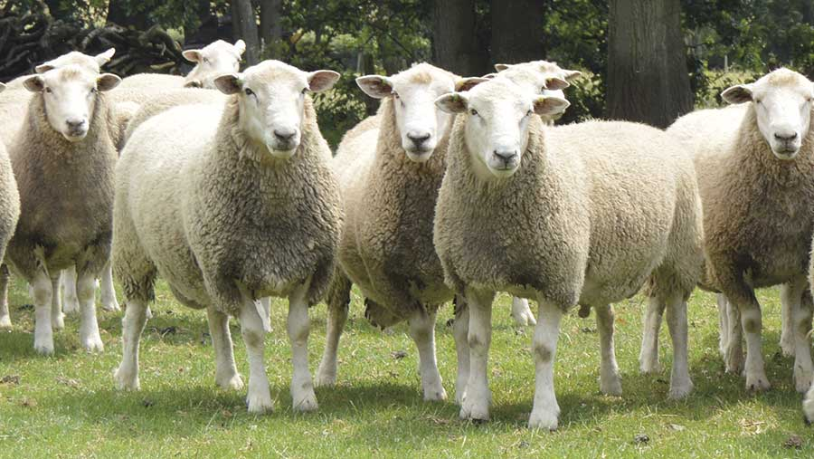 Rams from the Aragon Romneys flock