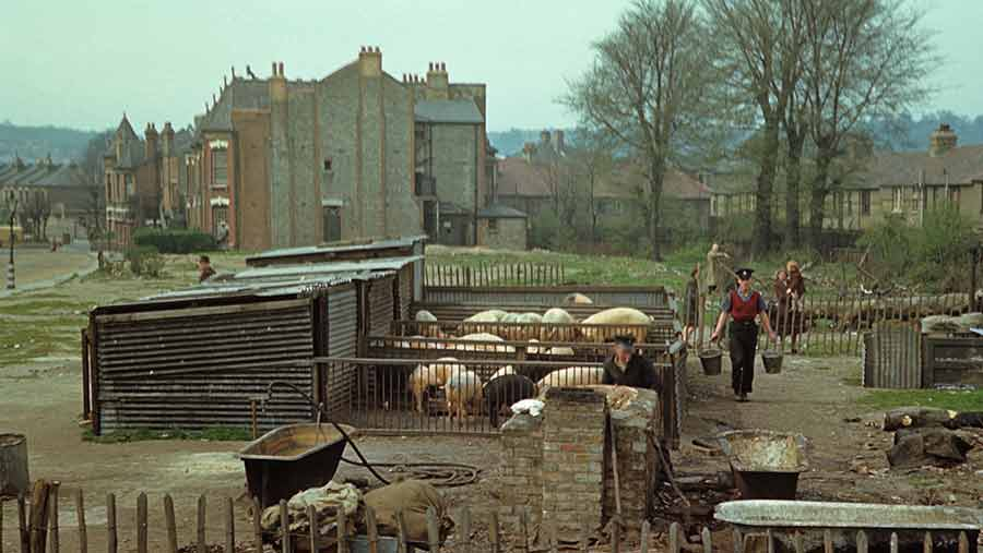 Rearing pigs in a blitzed area of north London in l944