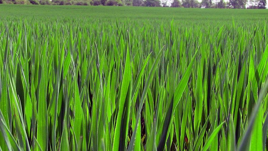 Crop close up of winter oats