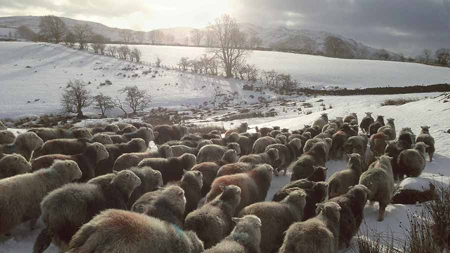 sheep in Lake District