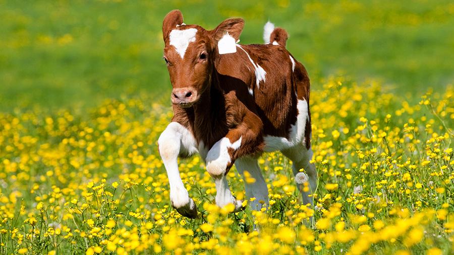 Red Holstein Cattle calf running