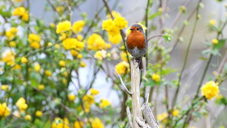 Robin in tree © Katy Gambles