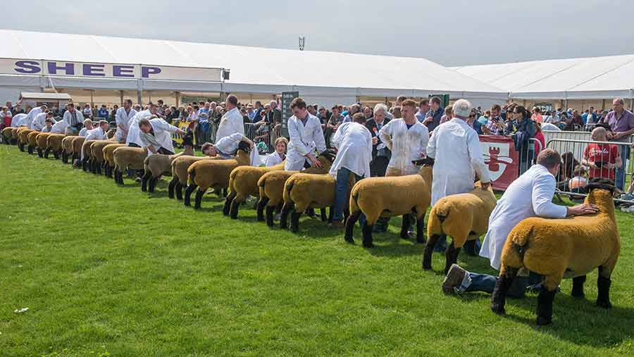 Line-up of Suffolk sheep