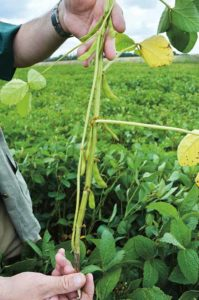 Close-up of soya plant