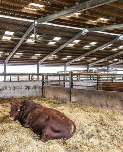 Cow in cubicle