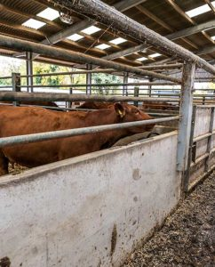 Low walls inside the cow shed