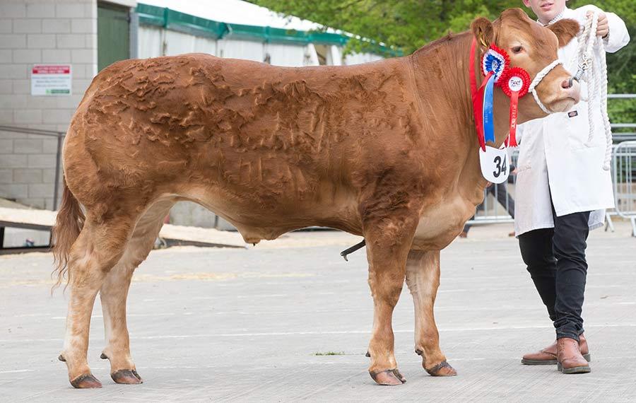 Steer Champion