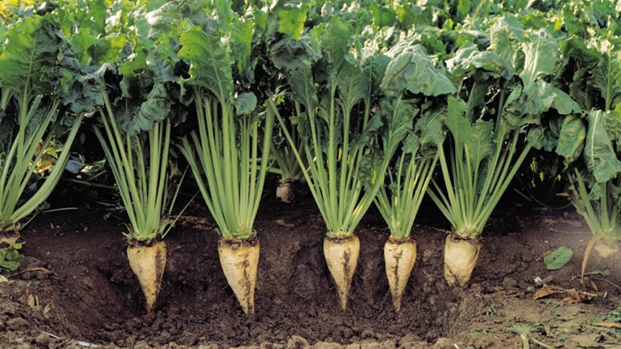 Sugar beet in soil