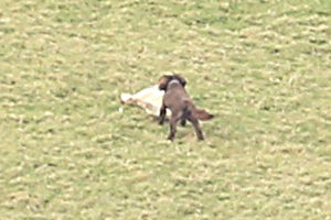 The dog attacking a sheep