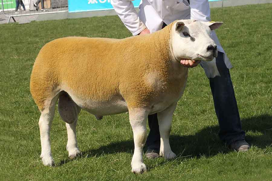 Reserve interbreed champion Springwell Voltage