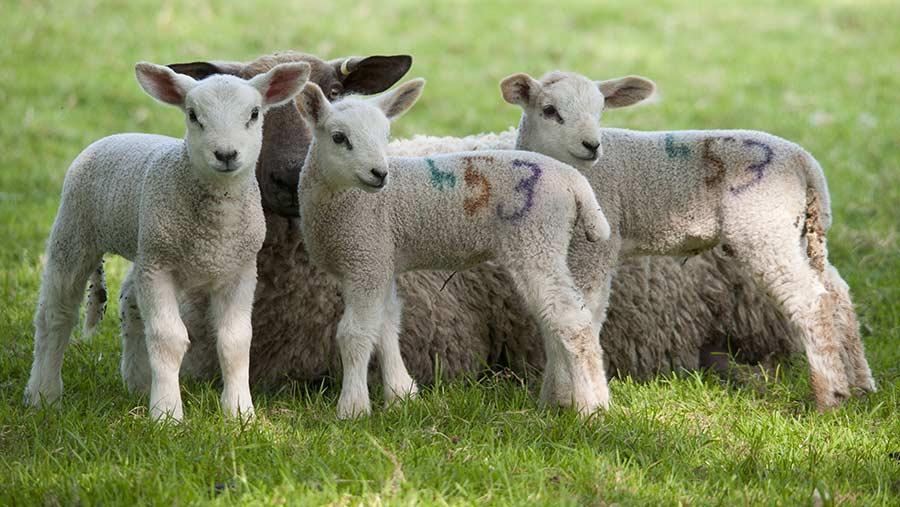 Triplet lambs © © FLPA/Rex/Shutterstock